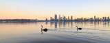 Black Swan on the Swan River at Sunrise, 3rd May 2016
