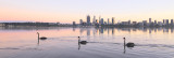 Black Swan on the Swan River at Sunrise, 8th May 2016