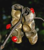 Red Bead Tree (Adenanthera pavonina)