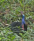 Cassowary female