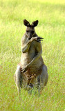 Eastern Grey Kangaroo male