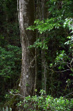 rainforest tree with lianes
