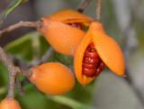 Rusty Pittosporum (Pittosporum venulosum)