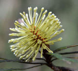 Northern Forest Banksia (Banksia aquilonia)