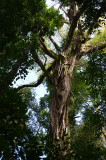 lowland rainforest tree