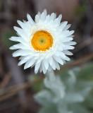 an everlasting (Coronidium newcastlianum)