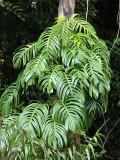 Native Monstera (Epipremnum pinnatum)