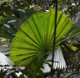 Mission Beach Fan-palm (Licuala ramsayi var. ramsayi)