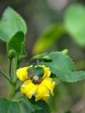 Large-flowered Goodenia (Goodenia grandiflora)