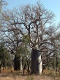 Boab (Adansonia gregorii)