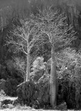 young Boabs (Adansonia gregorii) B&W