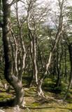 Argentina Tierra del Fuego elfin forest