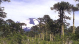 Chile Volcan Llaima & the Monkey Puzzles