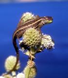 unknown lizard (Chile)