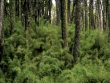 Chile PN Conguillio forestscape