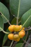 fig (Ficus sp) planted