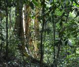 upland rainforest trees