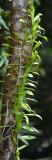 Pothos (Pothos longipes)