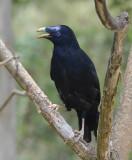 Satin Bowerbird male