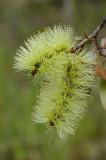 Broad-leaved Paperbark (Melaleuca viridiflora) green-flowered form