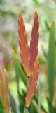 Bossiaea (Bossiaea armitii) new growth