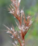 Citronella Grass (Cymbopogon bombycinus)