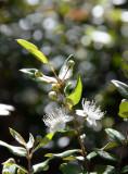 Midyim (Austromyrtus dulcis)