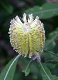 Coast Banksia (Banksia integrifolia)