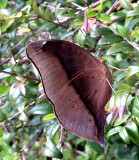 Leafwing