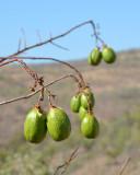 Kapok Tree (Cochlospermum gregorii)