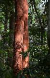 Paperbark Satinash (Syzygium papyraceum)
