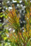 Black She-oak (Allocasuarina littoralis)