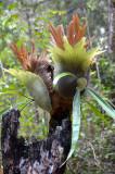 Staghorn (Platycerium superbum)