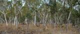 Poplar Gum woodland