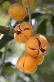 Rusty Mahogany (Dysoxylum rufum)