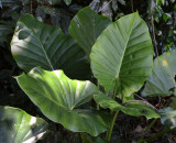 Cunjevoi (Alocasia brisbanensis)