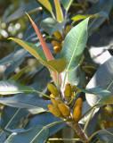 Banana Fig (Ficus pleurocarpa)