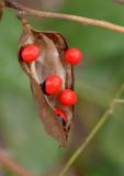 Crab's-eye Vine (Abrus precatorius)