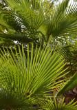 Northern Fan-palm (Livistona muelleri)