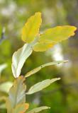 Bossiaea (Bossiaea armitii form)