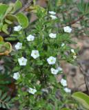 White Heliotrope (Heliotropium peninsulare)