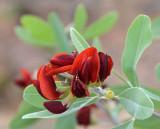 Wallflower Poison-pea (Gastrolobium grandiflorum)