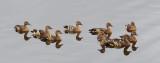 Plumed Whistling-Ducks