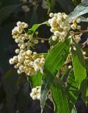 Primrose Wattle (Acacia flavescens)