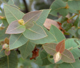 Rough-leaved Bloodwood (Corymbia setosa)