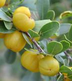 Quinine Berry (Petalostigma banksii)