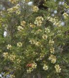 Black Tea-tree (Melaleuca bracteata)