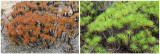 Resurrection Plant (Borya septentrionalis)