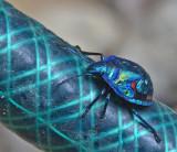 hose beetle