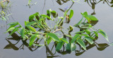 Blue Hyacinth (Monochoria cyanea)